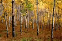 Aspen, Uncompahgre National Forest