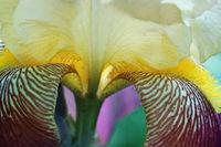 Iris View