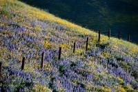 Gorman wildflowers