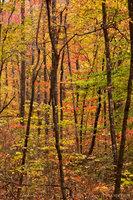 Ozark Forest