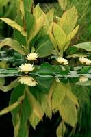 Lillies, Botanic Garden