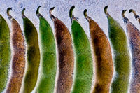 Soy Bean Pods