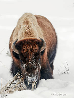 Recent Work-Winter in Yellowstone