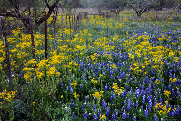 Bluebonnets, photo