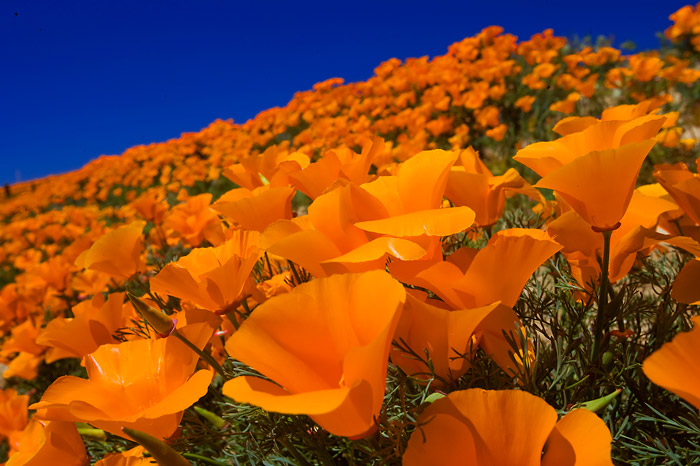 California poppy, photo