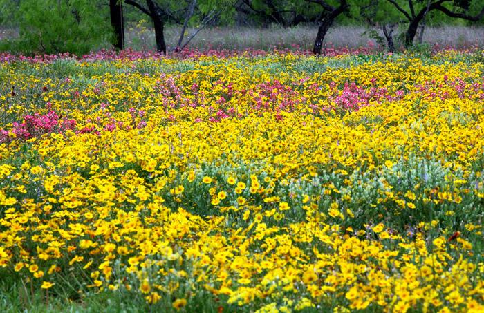 Texas wildflowers, photo