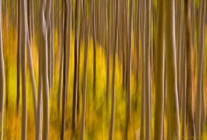 Impressionistic image, aspen boles(slight vertical motion with long exposure)