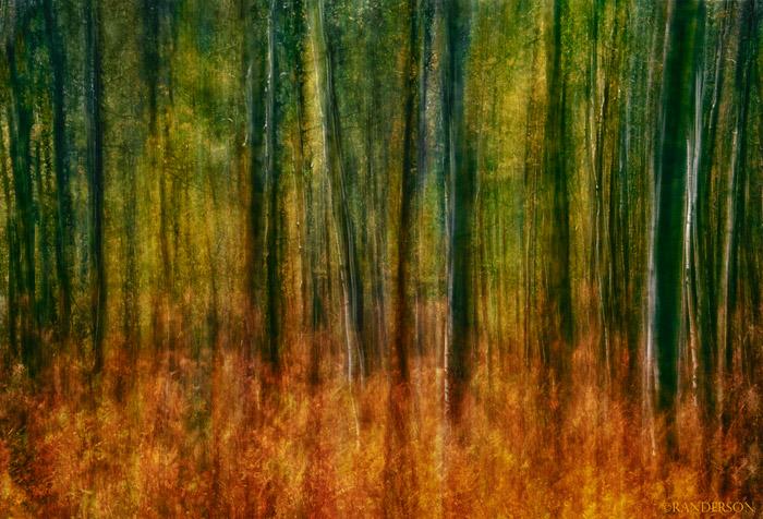 Multiple exposures, backlit aspen forest and ferns