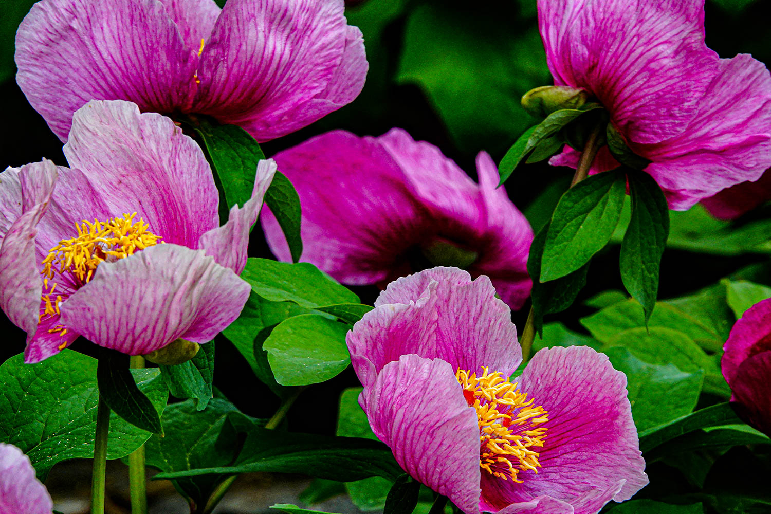 Good year for peonies