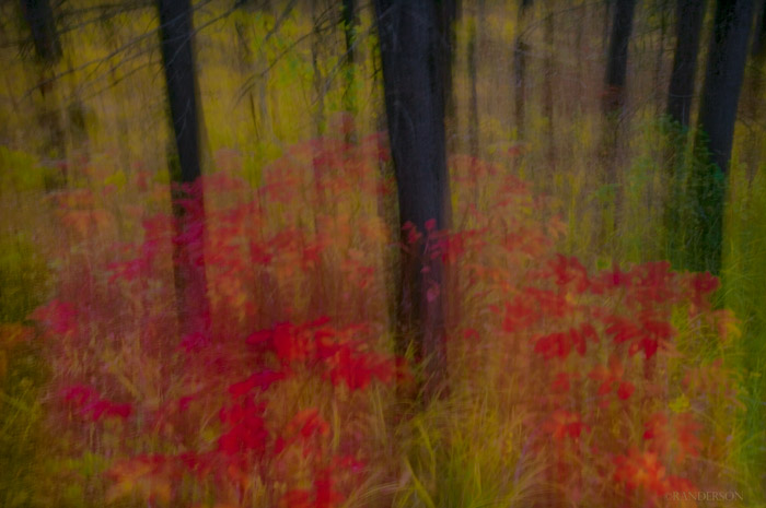 Impressionistic view of sugar maple bushes deep in the pine forest of the Grand Teton National Park.