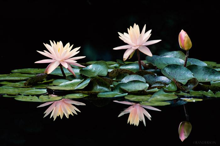 Pale lillies