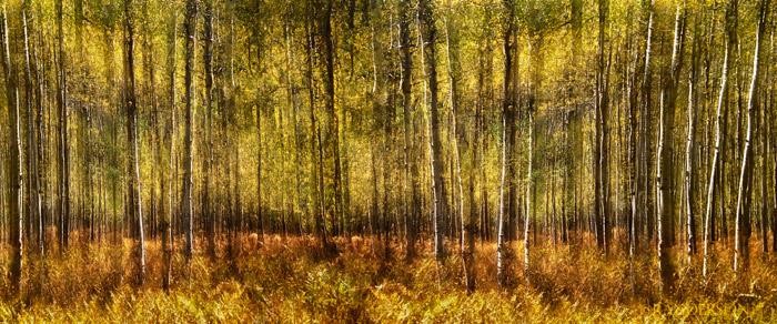 Multple exposure, panoramic image ofOwl Creek Pass aspen forest
