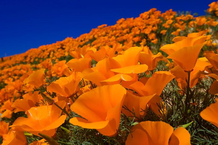 California poppy, photo