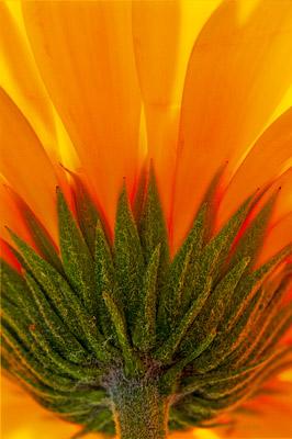 Sunflower, photo
