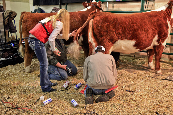 Stock Show, herfords, photo
