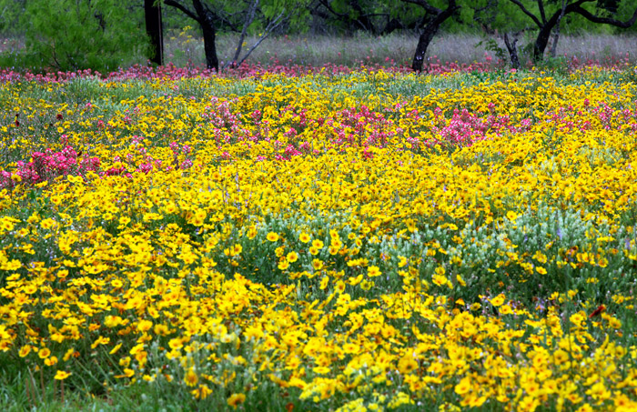 Texas wildflowers, photo